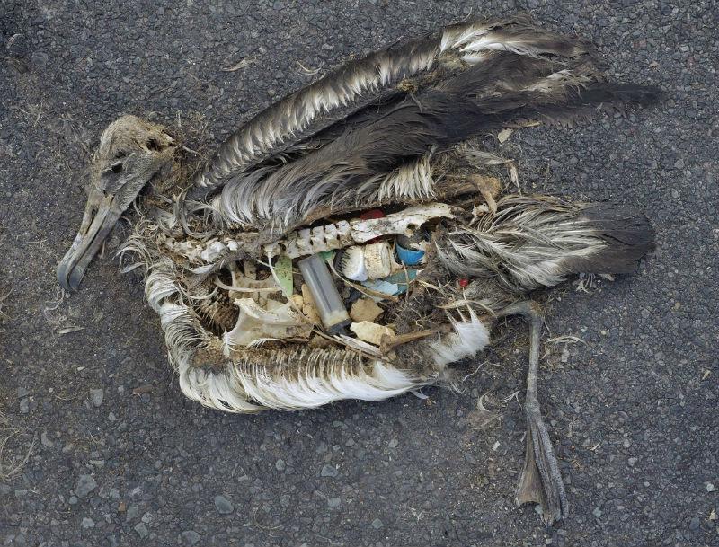 海洋プラスチックを誤飲して死んだ海鳥