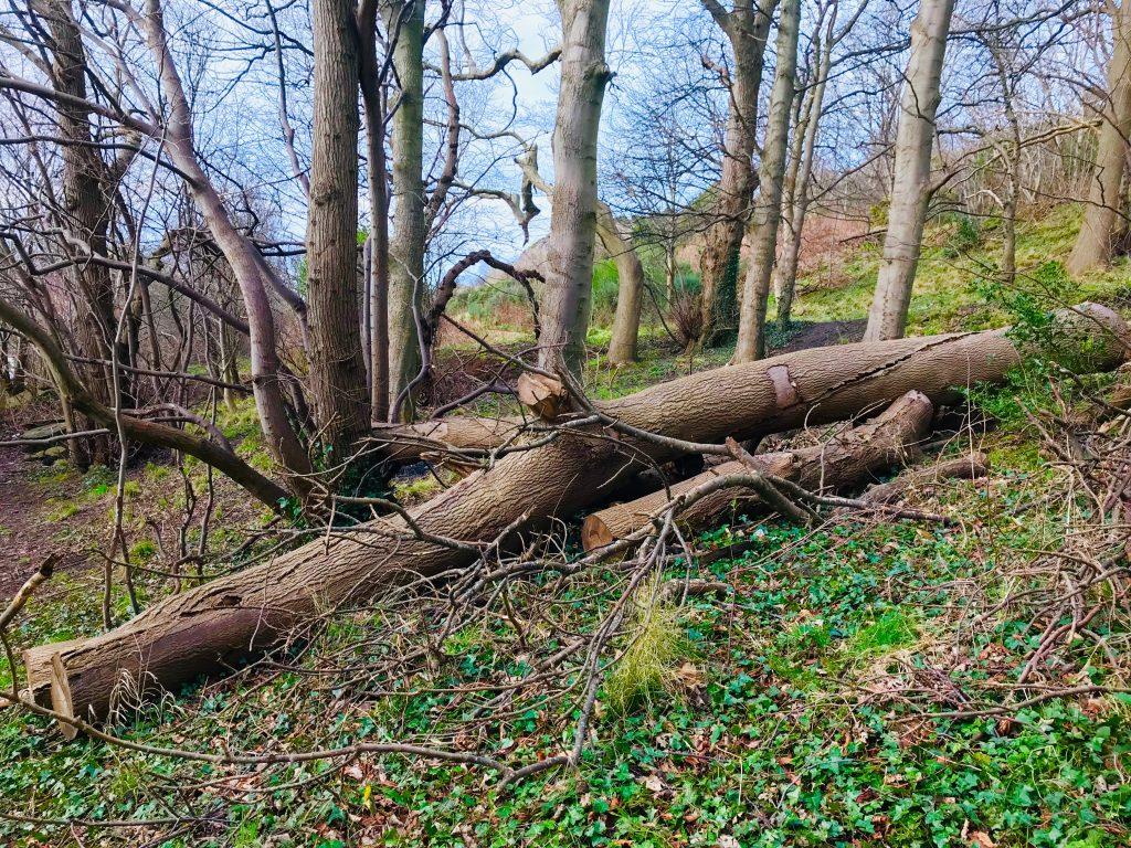 切り倒された大木